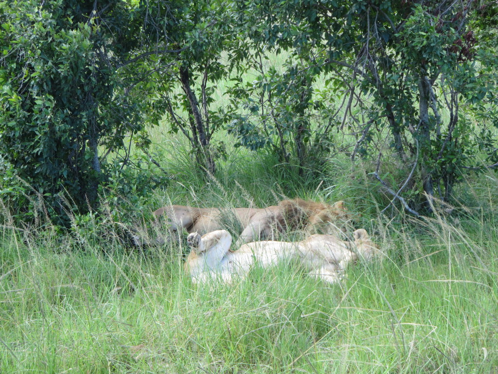 Mating pair of lions taking a well-earned nap
