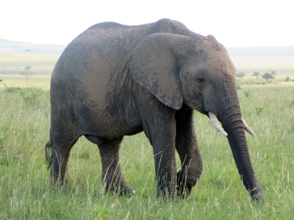 Solo elephant walkabout